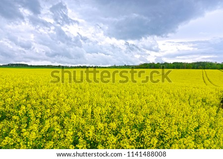 Vibrant yellow blossoms cover the vast landscape near a Dutch rapeseed oil farm. Spectacular view of the tranquil forest and countryside in beautiful Netherlands. Endless fields of oilseed plants. #1141488008