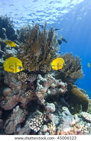 Vibrant yellow Masked Butterflyfish (Chaetodon semilarvatus) with coral reef background. Red Sea, Egypt. - stock photo