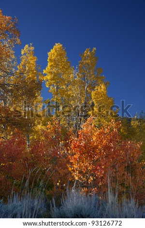 Vibrant yellow, orange, and red Autumn Aspens under blue sky, deeply saturated colors, Sierra Nevada Range, California