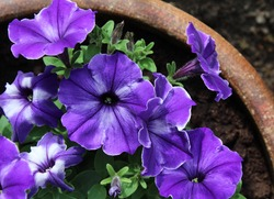 Vibrantly coloured purple and white striped petunia flowers, growing in a ceramic pot, in close up. Top down view.