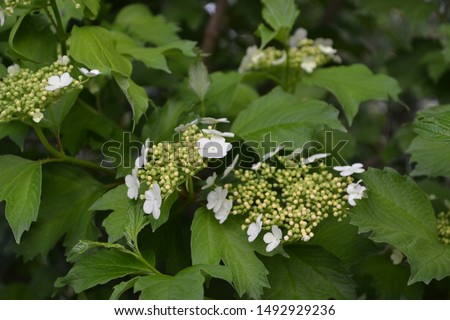 Viburnum, a genus of woody flowering plants Adoxaceae. Useful tree plant. Home garden, flower bed. Medicinal fruits. Red berries. Tea, syrup, jam. Green branches. White flowers #1492929236