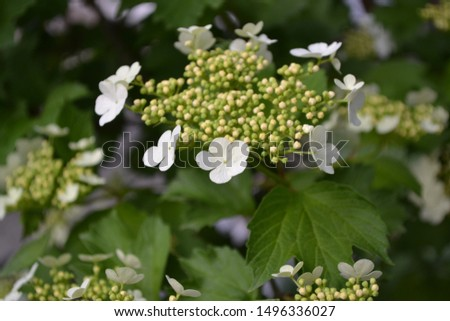 Viburnum, a genus of woody flowering plants Adoxaceae. Useful tree plant. Home garden, flower bed. Medicinal fruits. Red berries. Tea, syrup. White flowers #1496336027