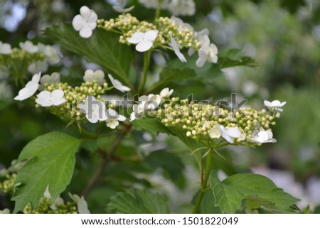 Viburnum, a genus of woody flowering plants Adoxaceae. Useful tree plant. Home garden, flower bed. Medicinal fruits. Red berries. Tea, syrup, jam. White flowers #1501822049