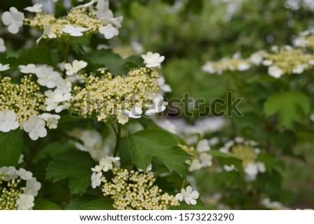 Viburnum, a genus of woody flowering plants Adoxaceae. Useful tree plant. Home garden. White flowers #1573223290