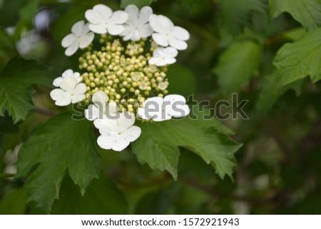 Viburnum, a genus of woody flowering plants Adoxaceae. Useful tree plant. Medicinal fruits. Home garden, flower bed. Red berries. Tea, syrup. White flowers