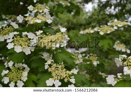 Viburnum, a genus of woody flowering plants Adoxaceae. Useful tree plant. Medicinal. Home garden. White flowers #1566212086