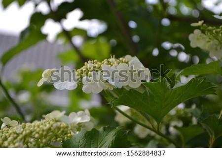 Viburnum, a genus of woody flowering plants Adoxaceae. White flowers #1562884837