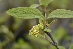 Viburnum Alleghany leaves and flower buds - Latin name - Viburnum x rhytidophylloides Alleghany