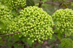 Viburnum Alleghany leaves and flower buds - Latin name - Viburnum x rhytidophylloides Alleghany green buds on a green background, spring