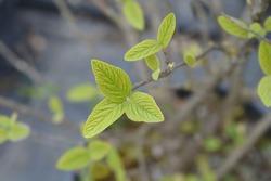 Viburnum Alleghany leaves - Latin name - Viburnum x rhytidophylloides Alleghany