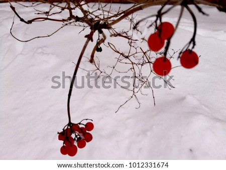 Viburnum berries in winter #1012331674