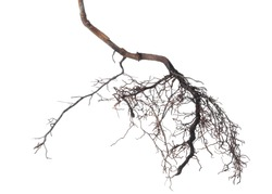viburnum tree roots is isolated on white background