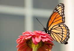 Viceroy butterfly feeding on a pink flower
