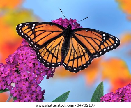 Viceroy Butterfly (Limenitis archippus) at an autumn butterfly bush. - stock photo