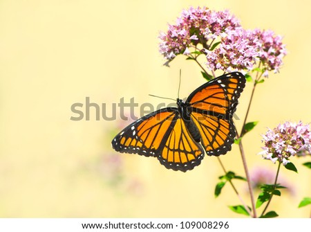 Viceroy butterfly (limenitis archippus) on some oregano flowers with a muted neutral background, with copy space.