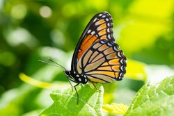 Viceroy butterfly on a leaf. These brightly colored butterflies are monarch mimics.