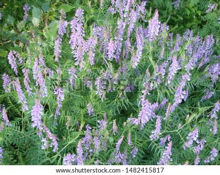 Vicia cracca - beautiful springtime field flowers