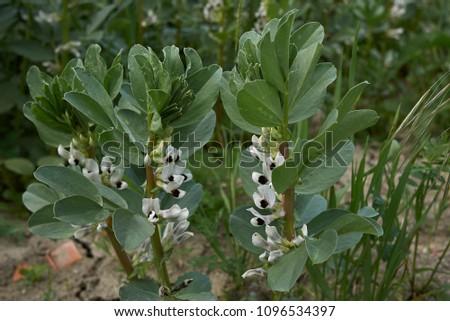 Vicia faba blossom