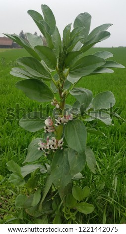 Vicia faba flower