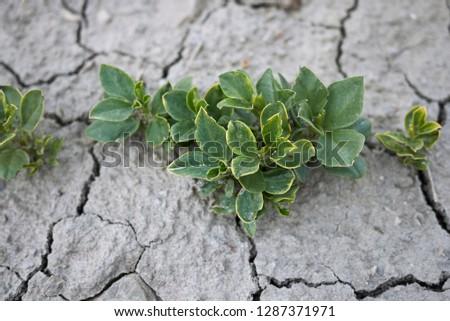 Vicia faba young plants