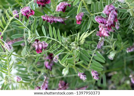 Vicia villosa, Hairy vetch, Fodder vetch, fodder legume, herb often a vine with pinnate leaves and purple pendent flowers in a long raceme. #1397950373