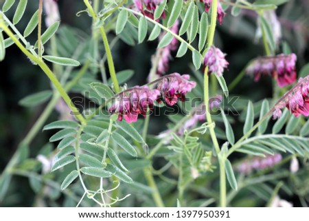 Vicia villosa, Hairy vetch, Fodder vetch, fodder legume, herb often a vine with pinnate leaves and purple pendent flowers in a long raceme. #1397950391