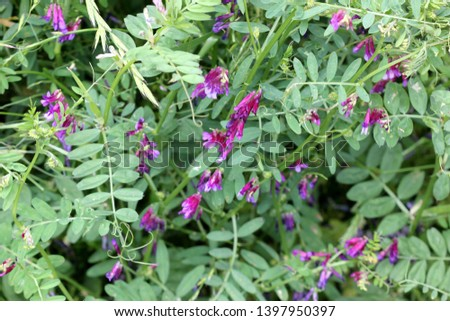 Vicia villosa, Hairy vetch, Fodder vetch, fodder legume, herb often a vine with pinnate leaves and purple pendent flowers in a long raceme. #1397950397