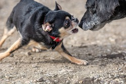Vicious Chihuahua attacking old dog. Chihuahua biting another dog.