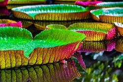 Victoria Amazonica (Also Known as Victoria Regia), a Species of Flowering Plant. Location: Museu Paraense Emílio Goeldi, Research Institute in Belém, Pará State, North of Brazil