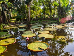 Victoria amazonica in the park of Leticia, Colombia. It is a species of flowering plant, the largest of the Nymphaeaceae family of water lilies. The largest water lily in the world. Amazonia.