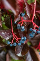 Victoria creeper plant with intensive red twig and blue berries also called Five-leaved ivy or five-finger in autumn.