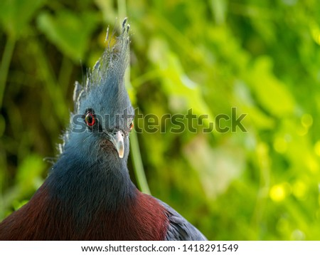 Victoria Crowned pigeon (Goura victoria) with blurred background #1418291549