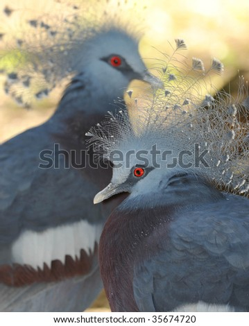 Victoria crowned pigeon mating pair , lae, morobe province, papua new guinea. exotic grey blue bird parrot from remote jungle rainforest pacific island