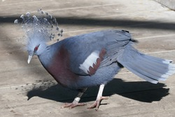 Victoria crowned pigeon standing on a boardwalk