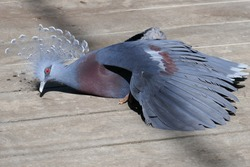 Victoria crowned pigeon sunning itself