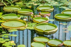 Victoria Giant Water Lily that lie flat on the water's surface