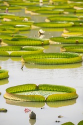 victoria lotus leaves floating on the water