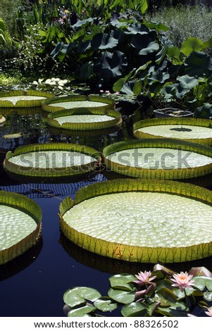 victoria water platters afloat in water garden - stock photo