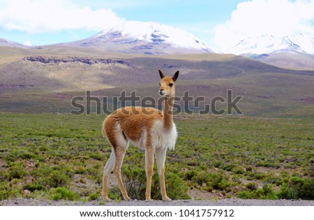 Vicuña in the altiplano of the Arequipa region on the way to the Colca Canyon in Peru.
