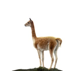 Vicuña isolated on white background, concept of wild animals of the Andes of South America.