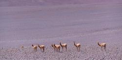 Vicuña or vicuna, Vicugna vicugna, southamerican domesticated camelid in La Puna ecoregion of the Andes in Argentina South America, America