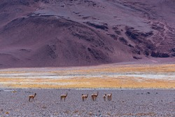 Vicuña or vicuna, Vicugna vicugna, southamerican domesticated camelid in La Puna ecoregion of the Andes in Argentina South America, America