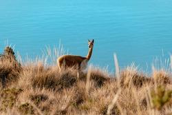 Vicuña walking on an island in Lake Titicaca