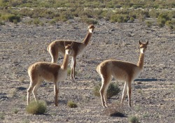 vicuna is slim graceful animal with precious fur, they  live in the Andes of Ecuador, Peru, Bolivia, Argentina and Chile. They are found at altitudes from 3500 to 5500 m.