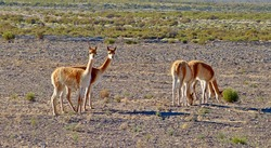 Vicuna is wild animal with precious fur. Vicunas live in Andes of Peru, Bolivia, Chile. Graceful camelid vicunas in desert puna near Salar de Uyuni. Vicuna. Vicuna is related to llamas and alpacas.