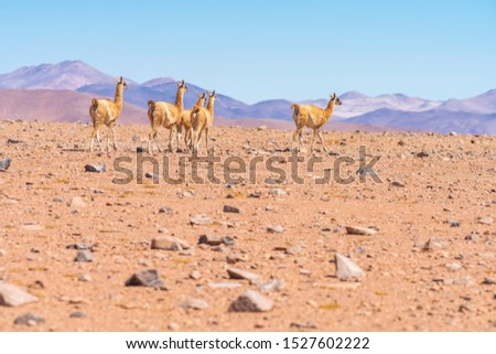 Vicuna mammals walking looking for pastures at Andes mountains Altiplano meadows inside Atacama desert, a tranquil wild life scene at the outdoors. Amazing seeing the animals in their wild environment