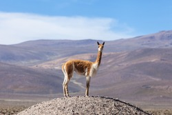 Vicuna on a promontory in the Andean plateau. Mountain and blue sky background