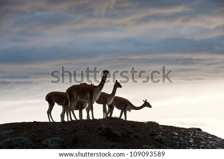 Vicuna (Vicugna vicugna) or vicugna is wild South American camelid, which live in the high alpine areas of the Andes. It is a relative of the llama.  Central Ecuador