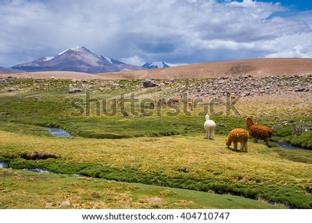 Vicunas and alpacas grazing, Las Vicunas National Reserve (Chile) #404710747