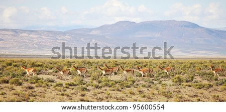 Vicunas on Bolivian Altiplano in Andes